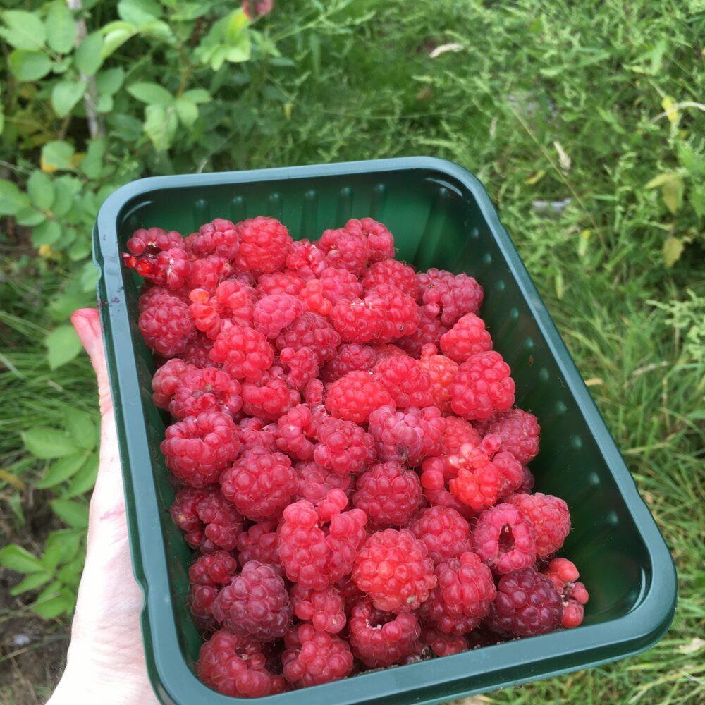 A punnet of organic raspberries
